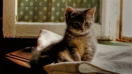 صور قطط شيرازى (4)