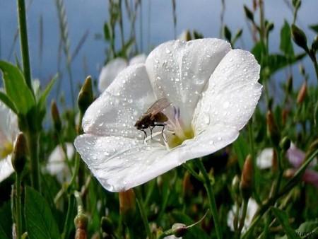 صور ورد أبيض (1)