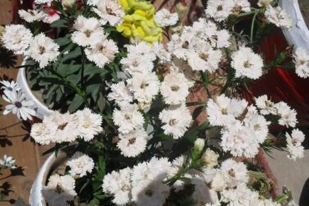 صور ورد أبيض (3)
