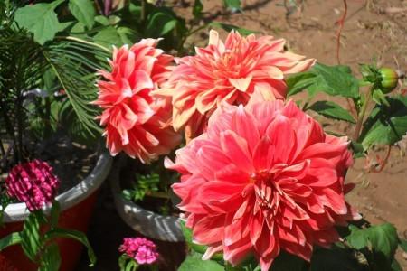 صور ورد احمر (6)