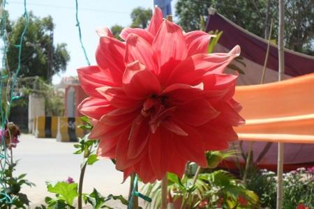 ورد احمر جميل (1)