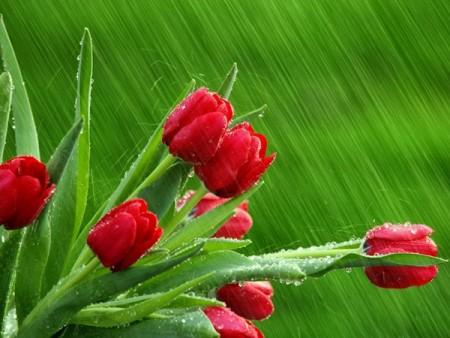 ورد احمر (2)