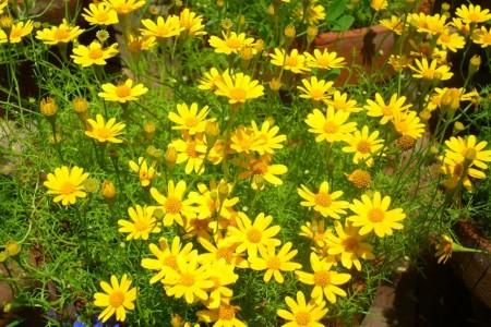 ورد اصفر (1)