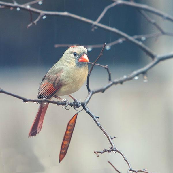 چسب پرنده ...راسته طوطی ها بسیار کم است که این امر باعث گمانه زنی در مورد نحوه تکامل این پرنده