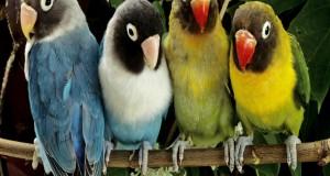 صور عصافير الزينة (1)