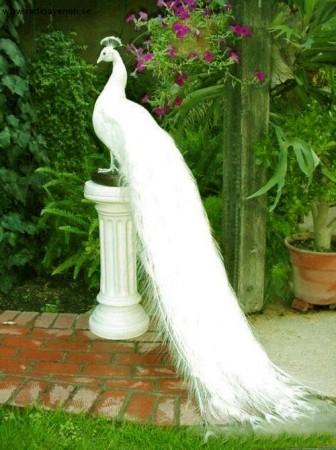 صور عصافير الكنارى (1)
