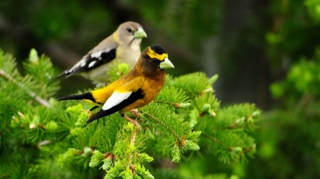 صور عصافير الكنارى (3)