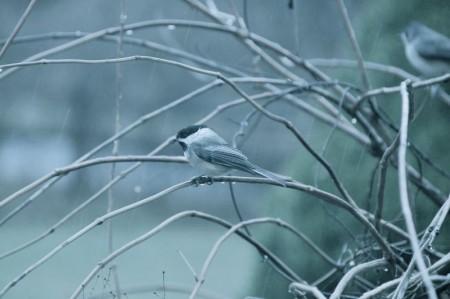 صور عصافير (1)