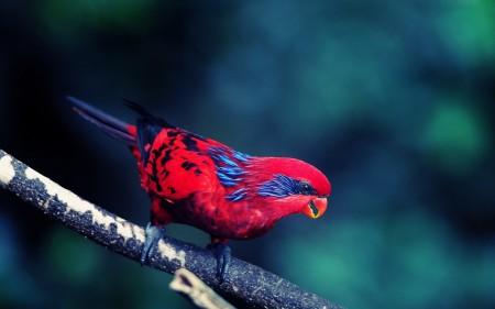 عصافير استرالى (2)