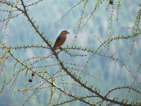 عصافير استرالى (3)