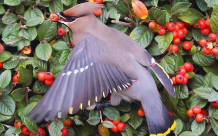 عصافير استرالى (4)