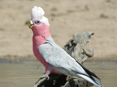 عصافير الزينة (4)