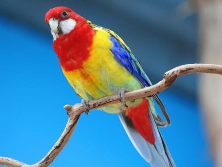 عصافير ملونة (3)