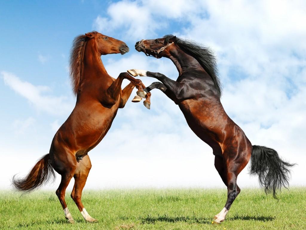 خيول عربية اصيلة (3)