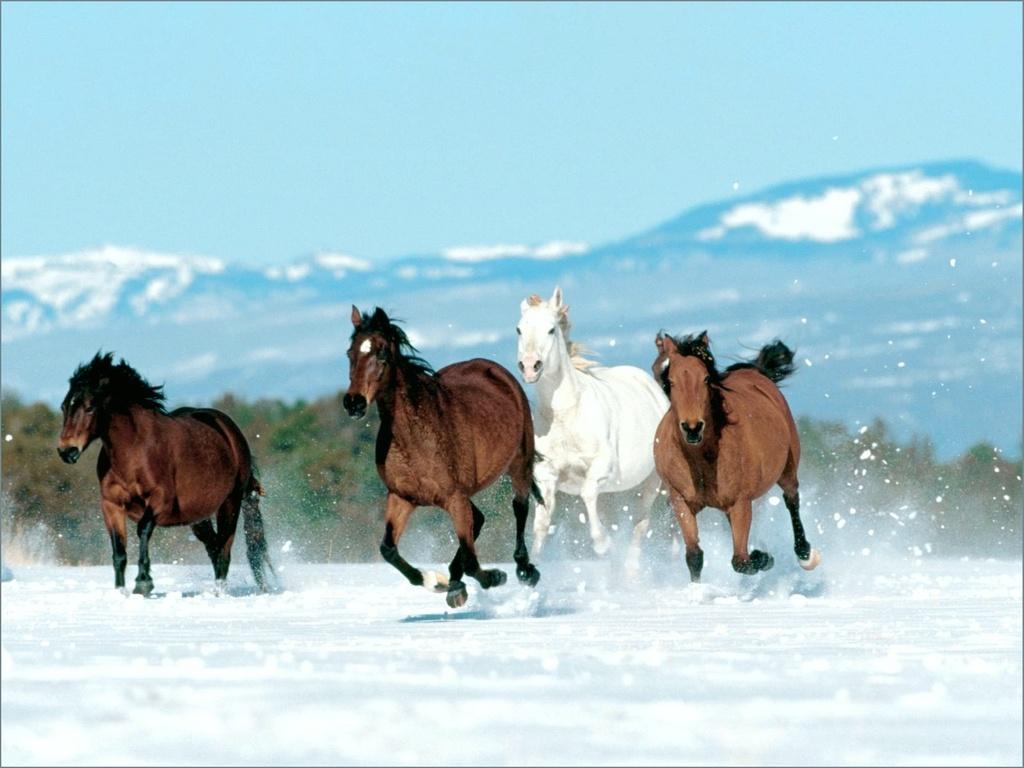 خيول عربية اصيلة (5)