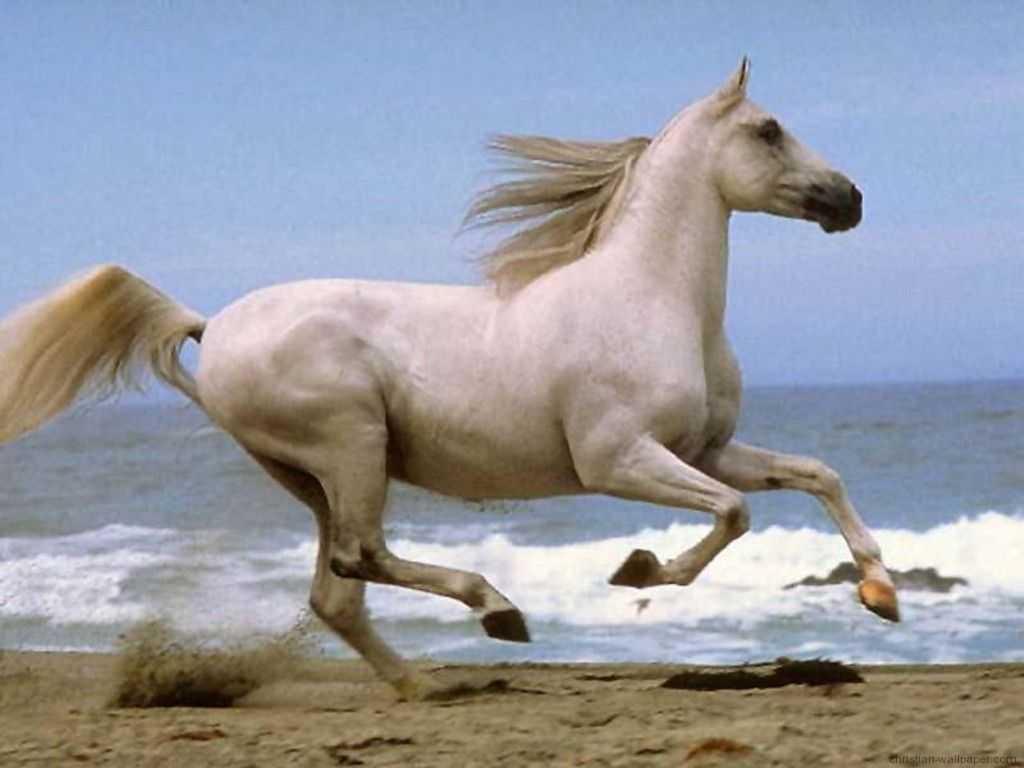 خيول عربية اصيلة (6)