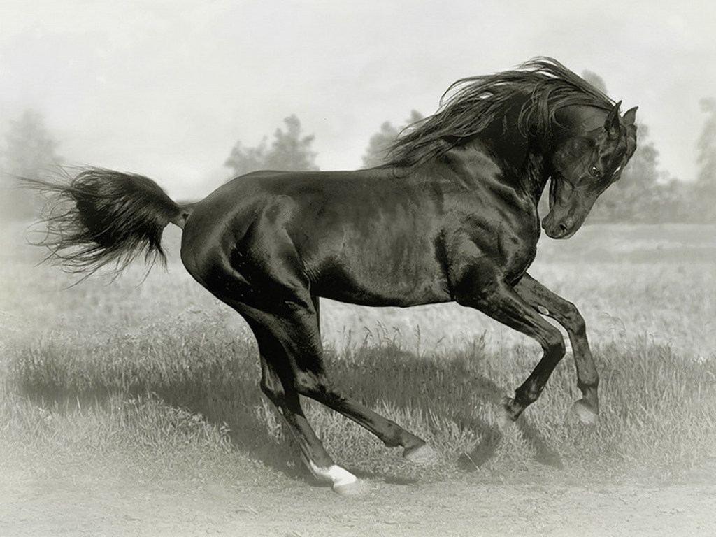صور خيول أصيلة  (2)