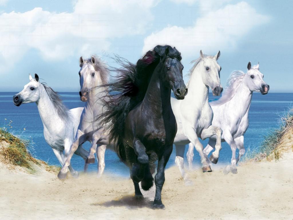 صور خيول أصيلة  (4)