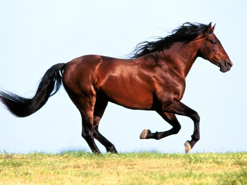 صور خيول عربية  (2)