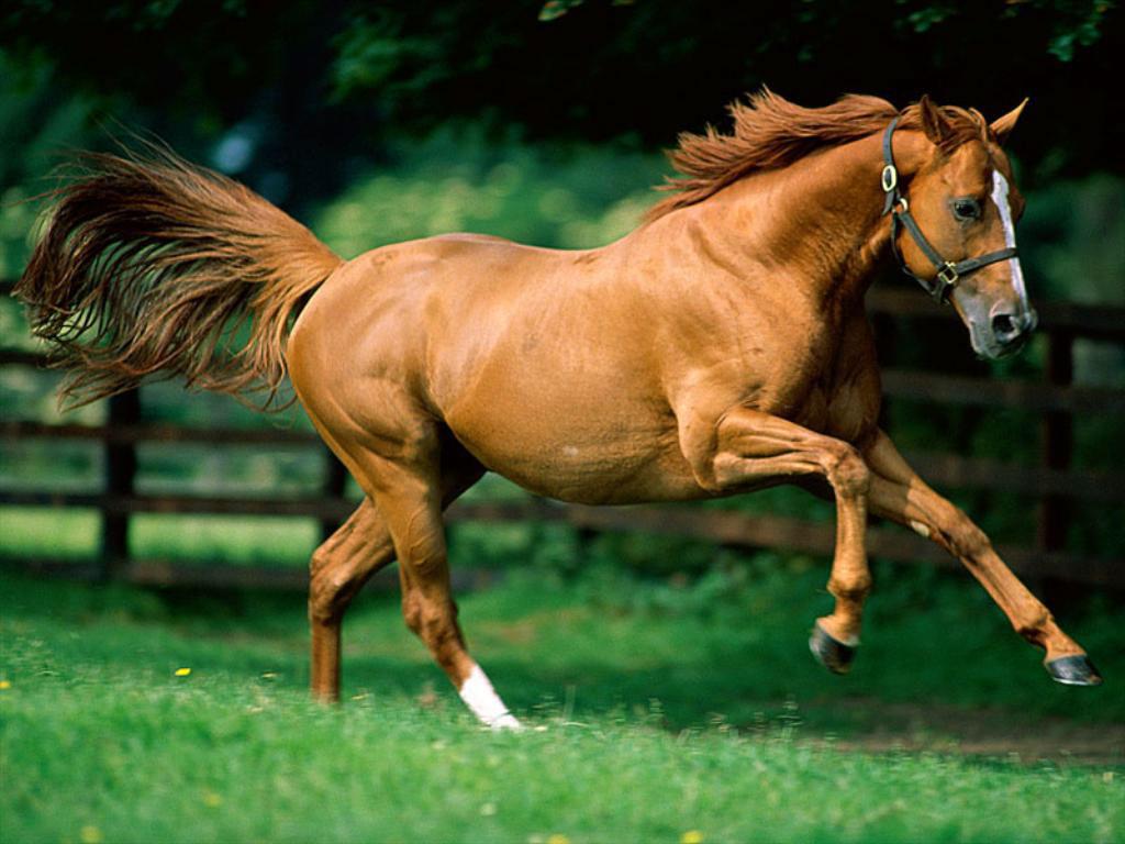 صور خيول عربية  (3)