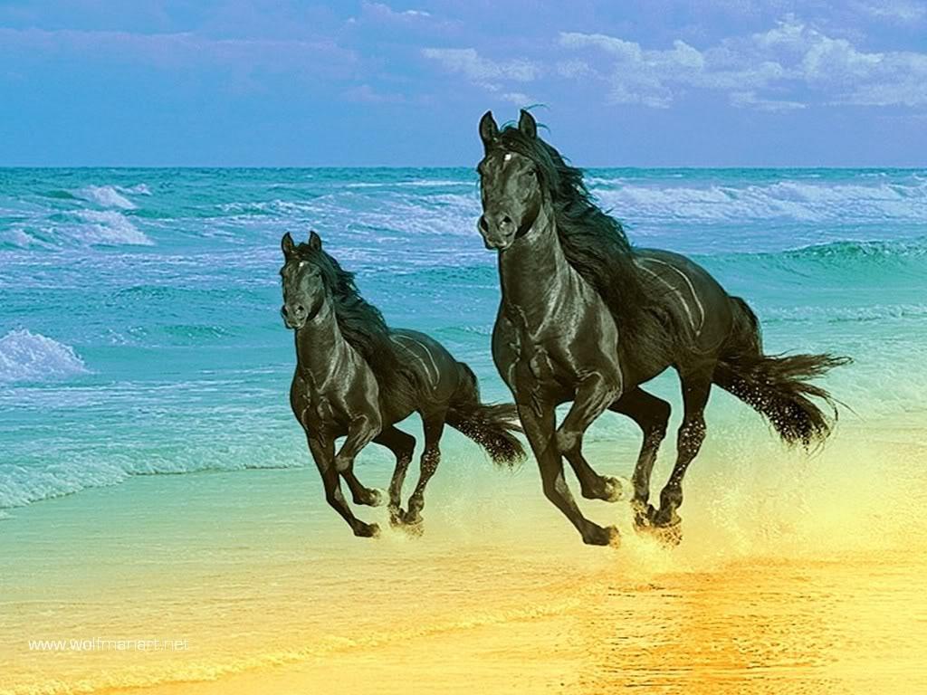 صور خيول عربية  (4)