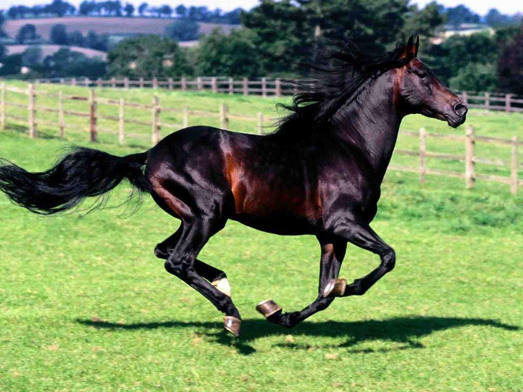 الخيول العربية  (2)