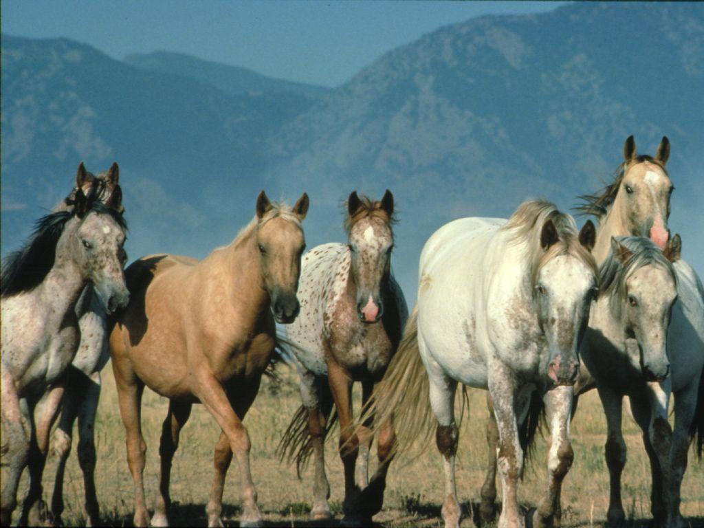 حصان عربي اصيل (4)