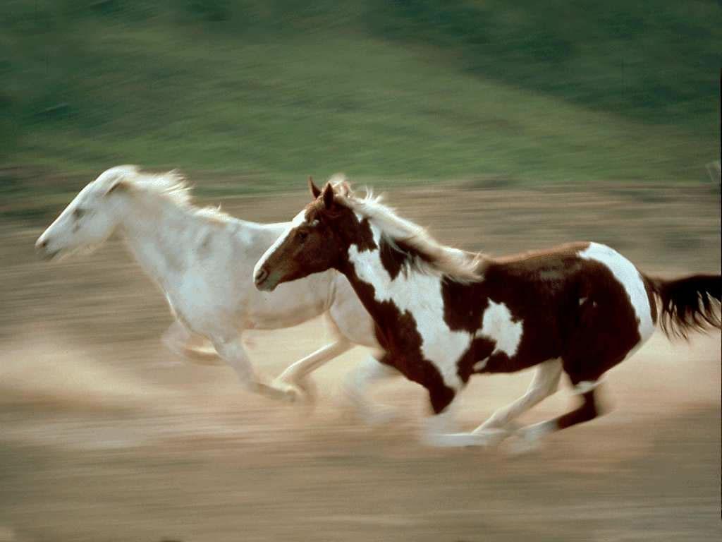 حصان عربي اصيل (5)