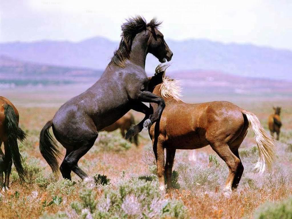 خيول عربية واحصنة عربية (1)