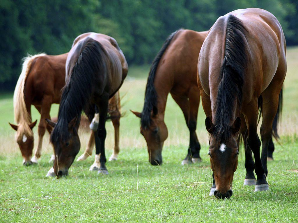 خيول عربية واحصنة عربية (5)