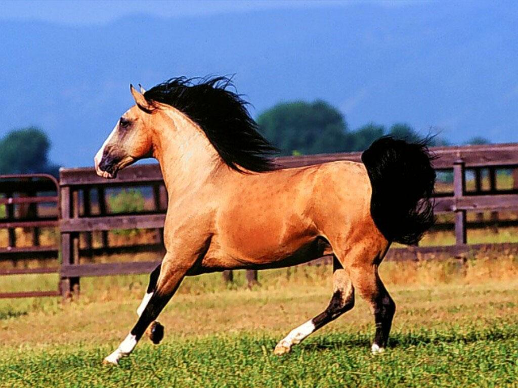صور الخيول  (1)