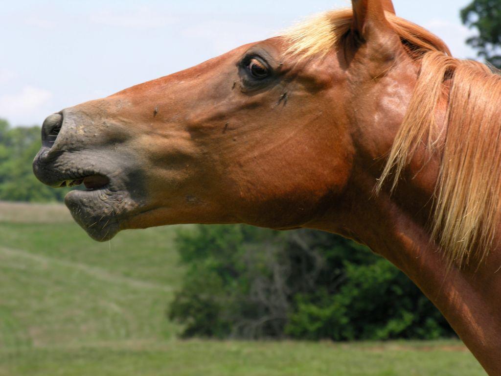 صور حصان عربي (1)