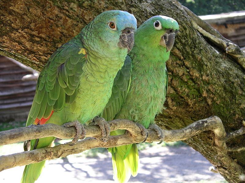 صور طيور ببغاء (3)