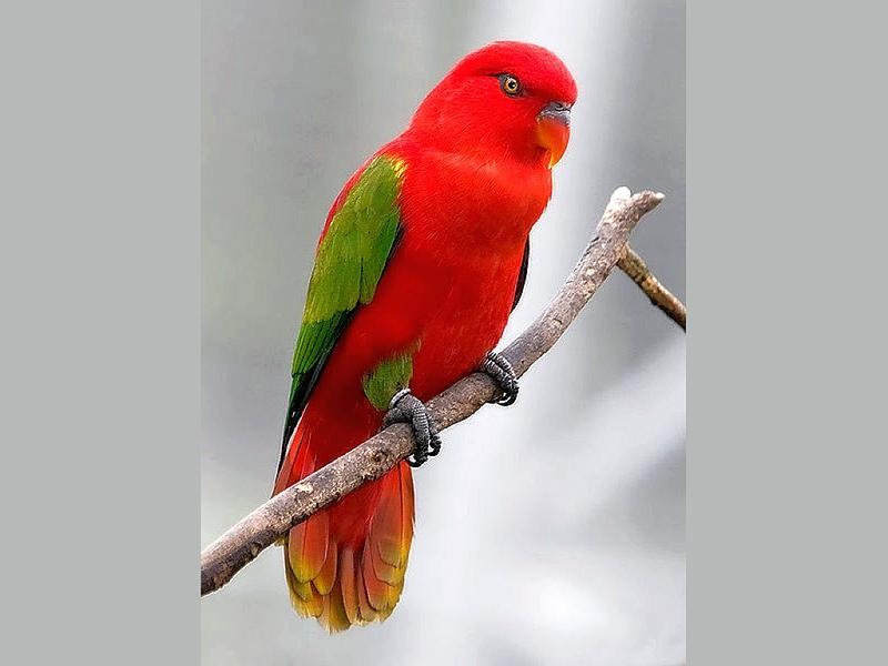 طيور ببغاء (2)