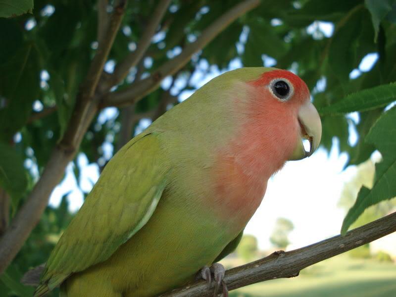 طيور ببغاء (3)