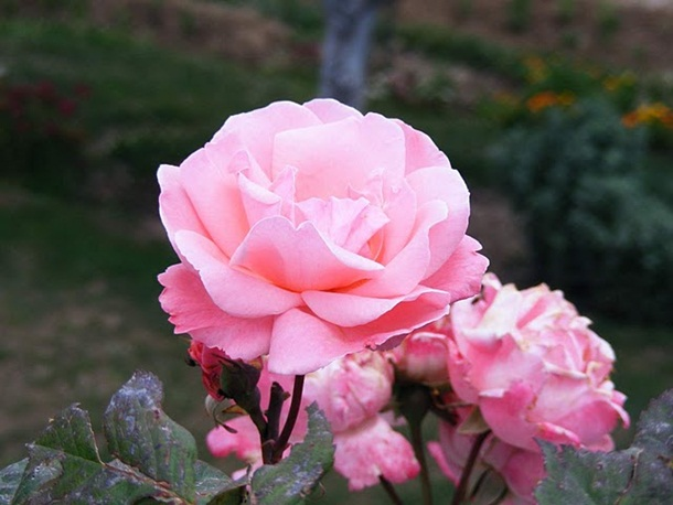 ازهار وورود جميلة (1)