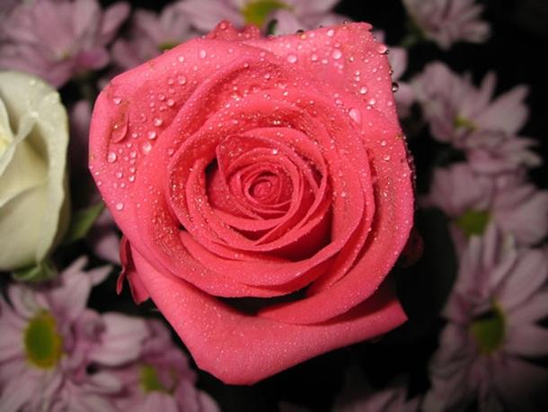 زهور باللون الاحمر (1)