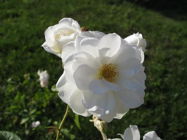 صور ازهار الحب وورود الحب واجمل ازهار الربيع (3)