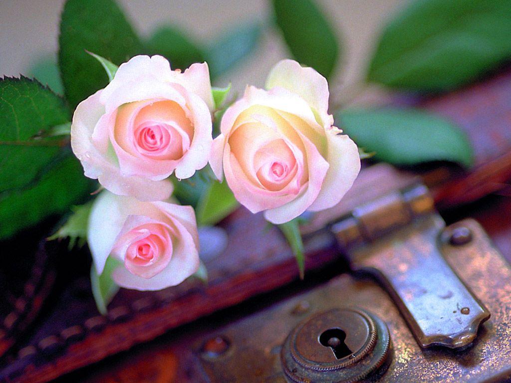 صور ازهار الحب  (4)
