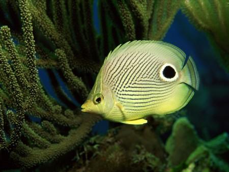 اشكال سمك زينة (4)