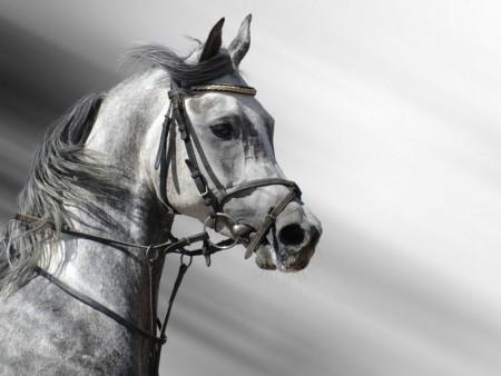 الوان احصنة عربية اصيلة (1)