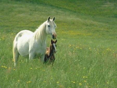 الوان احصنة عربية اصيلة (3)