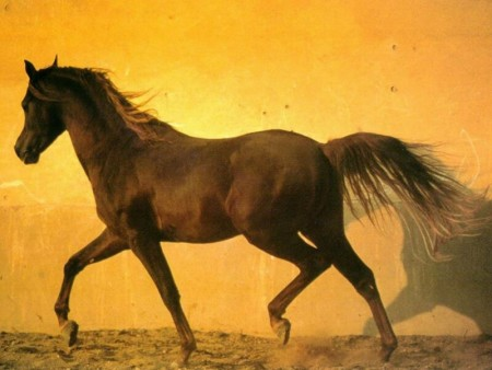 الوان احصنة عربية اصيلة (4)