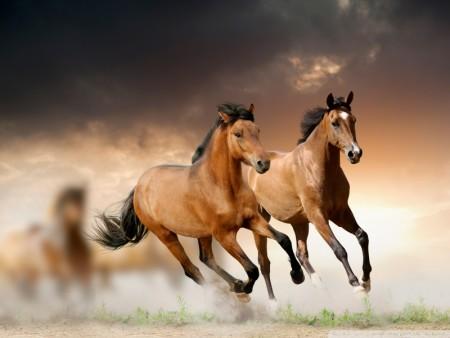 خلفيات فرس عربي اصيل وصور احصنة جميلة (4)