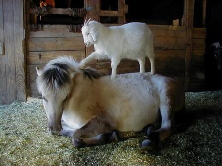 خيول عربية اصيلة (4)