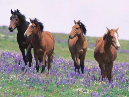 صور احصنة وفرس عربي اصيل بالوان جميلة (5)
