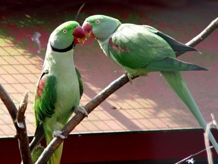 صور ببغاوات جميلة ملونة احلي الوان الببغاء (4)