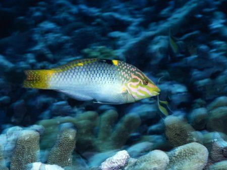 صور سمك زينة  (3)