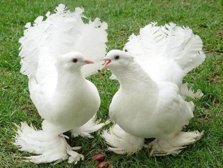 صور حمام خلفيات طيور الحمام الملونة بانواعها  (1)