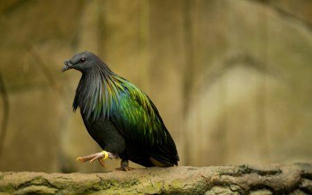 صور حمام خلفيات طيور الحمام الملونة بانواعها  (3)